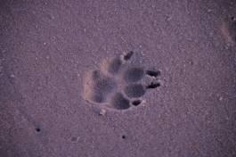 dog print sand topsail