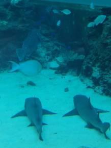 Sharks in Okinawa
